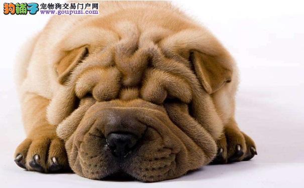 沙皮狗的外形特点以及选购沙皮犬的技巧