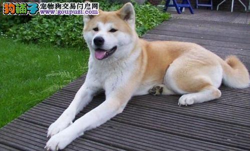 忠心耿耿的秋田犬价格是多少 是否适合家养