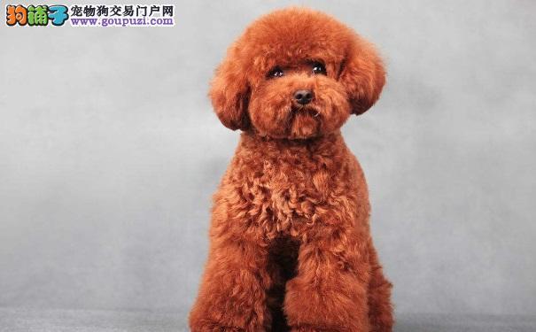 购买泰迪犬多少钱一只比较划算