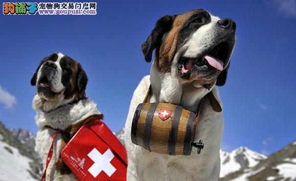 圣伯纳犬好养吗 哪些人适合养圣伯纳犬
