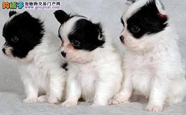蝴蝶犬的价格 如何挑选蝴蝶犬幼犬
