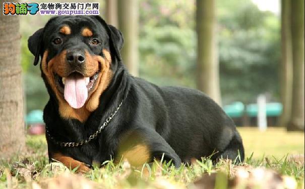 罗威纳的性格 罗威纳犬适合家养吗?