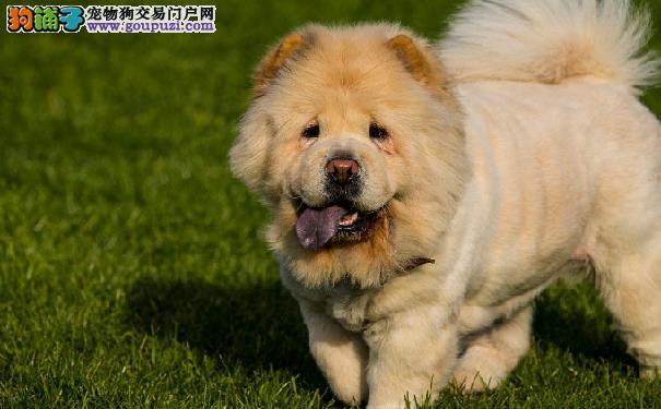 松狮犬膀胱结石的病因及症状