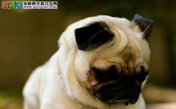 训练巴哥犬的方法 训练巴哥犬注意事项