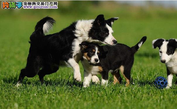 边境牧羊犬也会炸毛 边牧出现这些特征不要轻举妄动
