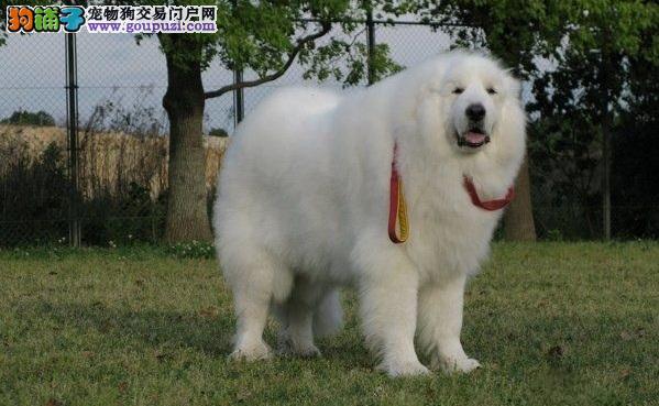 如何改善大白熊的发质 保持大白熊犬毛发好的方法