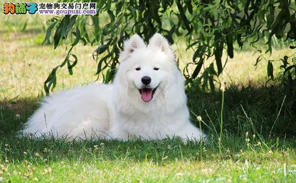 萨摩耶犬为什么毛发不亮 萨摩如何美容