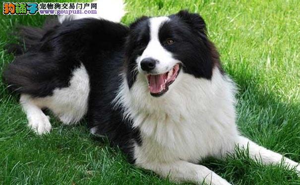 边境牧羊犬幼犬的管理与养护