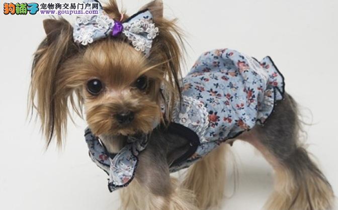 约克夏犬的皮肤健康护理