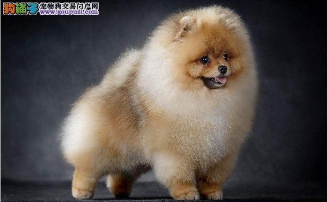 引起博美犬肥胖的原因