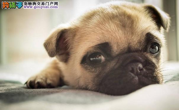 巴哥犬胃酸呕吐怎么办 了解巴哥犬呕吐的原因