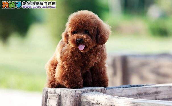 泰迪犬挑食严重变得很瘦很不健康怎么办
