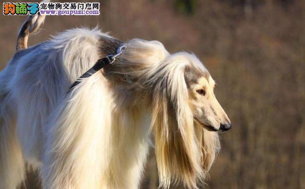 如何处理阿富汗猎犬毛发缠结