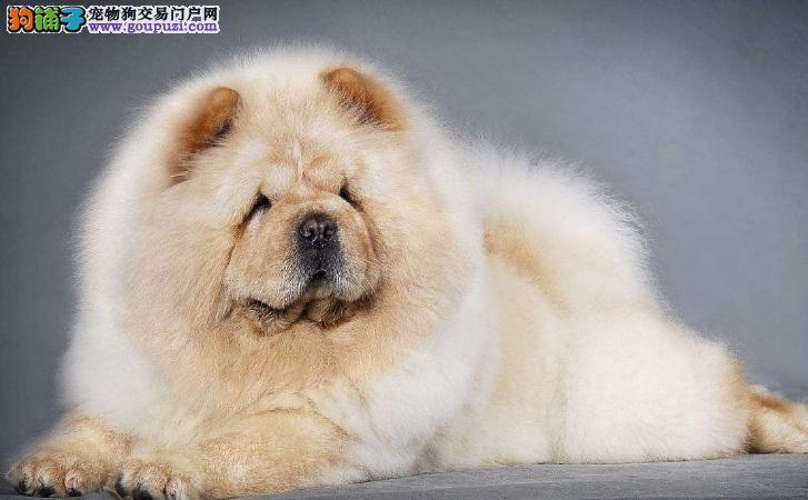 为什么松狮犬毛少 该怎么办呢