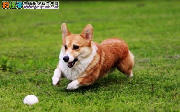 柯基犬的日常训练 柯基犬的大小便训练以及捡球训练