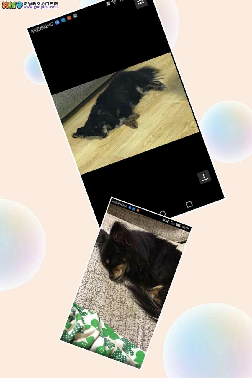 哈尔滨市道里区儿童医院酬谢三千元寻找蝴蝶犬