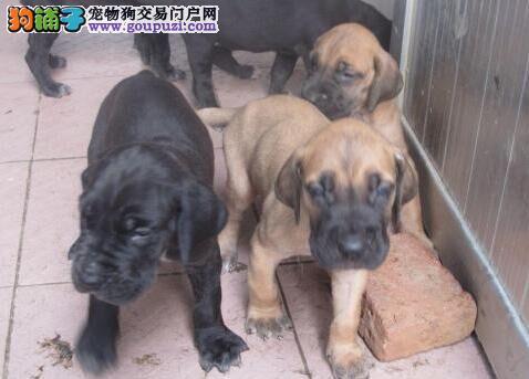 云南昆明哪里有大丹犬卖哪家狗场卖大丹犬
