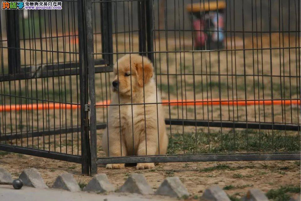 犬舍直销金毛 精品金毛幼犬出售