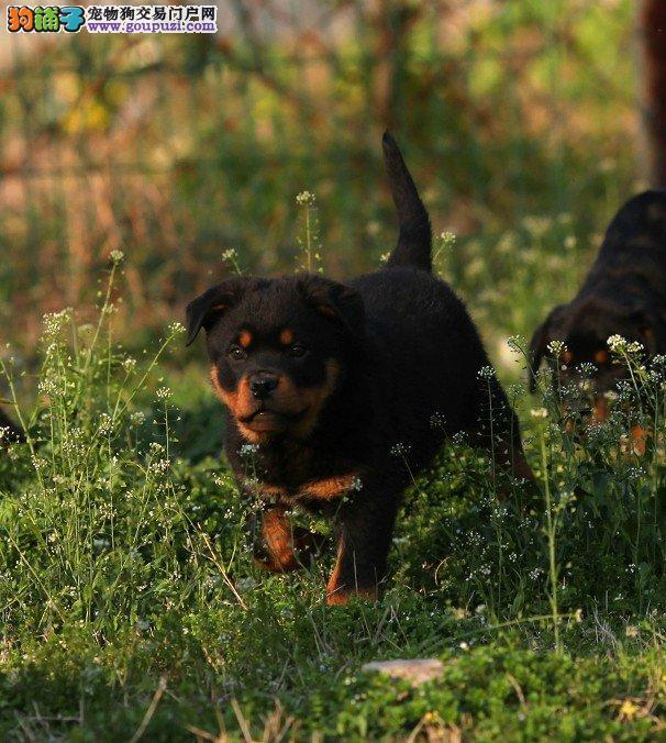 自家繁殖的纯种健康罗威那幼犬