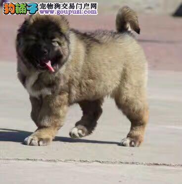 高加索 高端品质高加索幼犬出售