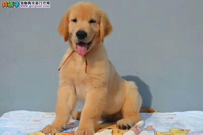 什么狗最听话 什么狗最温顺 金毛幼犬