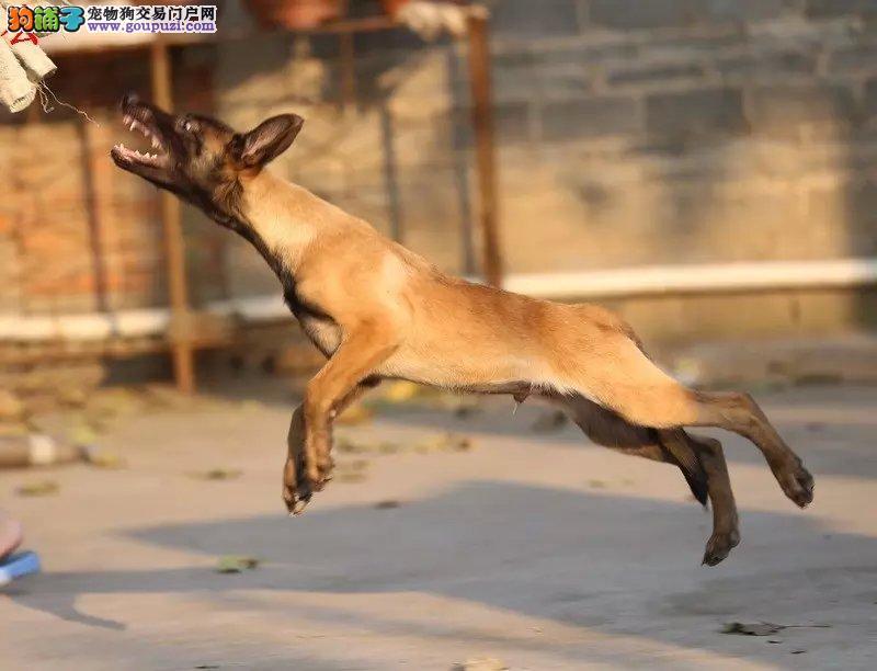 自家繁殖的纯种健康马犬出售