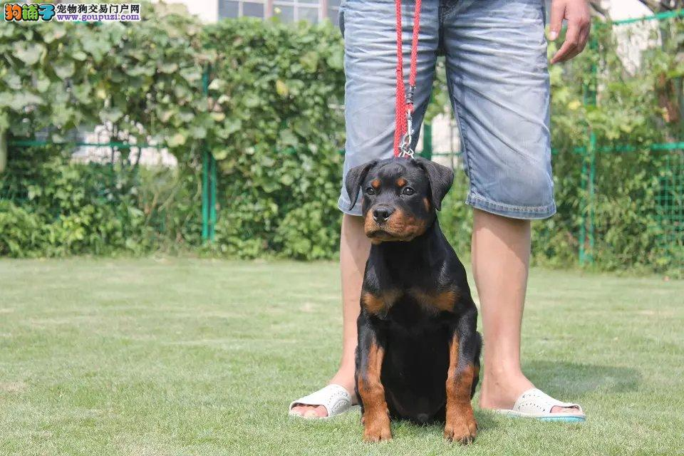 罗威那幼犬纯种罗威那出售中
