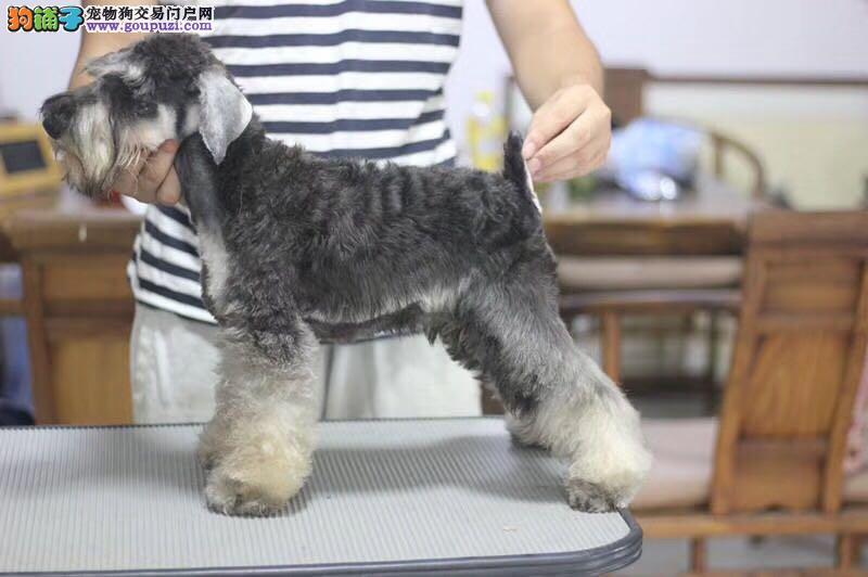 椒盐精品雪纳瑞犬,黑色,白色雪纳瑞犬