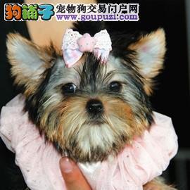 出售纯种健康的小型犬约克夏幼犬