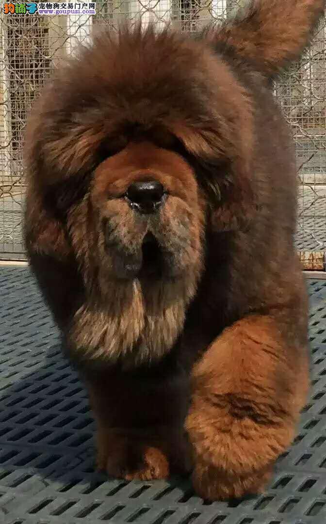 出售纯种藏獒幼犬 大狮子头藏獒幼犬