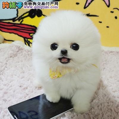 出售纯种健康的博美 小型犬博美