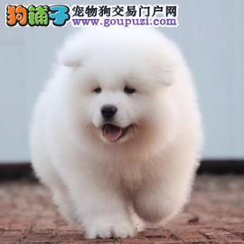 萨摩 纯种萨摩 萨摩犬舍 基地出售萨摩