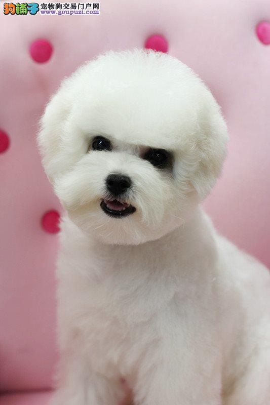 比熊幼犬 纯种法国卷毛比熊犬