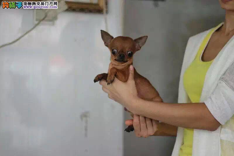 吉娃娃幼犬 纯种鲨鱼嘴 苹果头吉娃娃