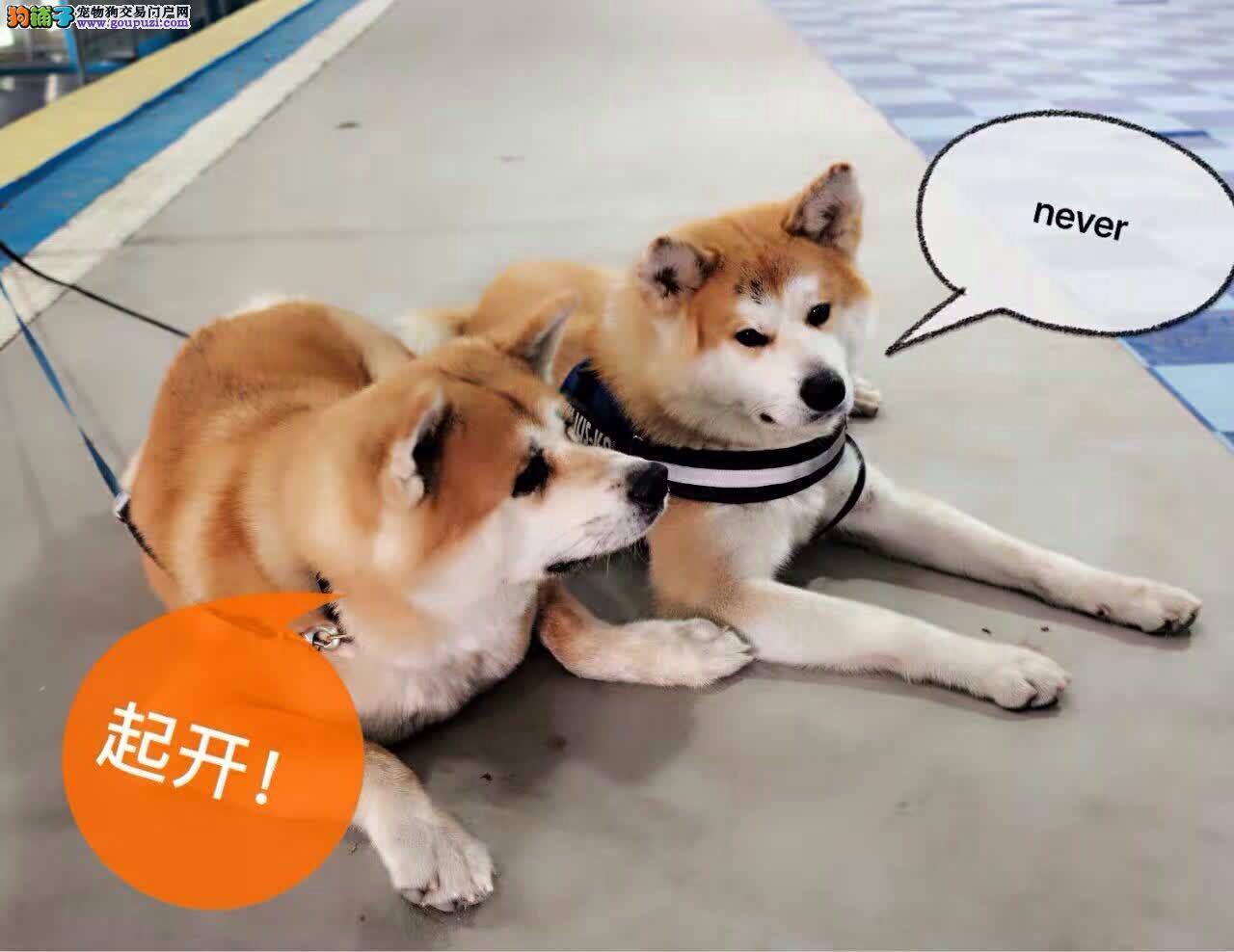 秋田犬 出售纯正血统秋田犬 多只可选