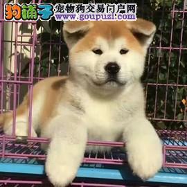 自家繁殖的高品质纯种秋田犬出售