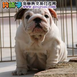 自家繁殖的纯种健康英牛幼犬出售
