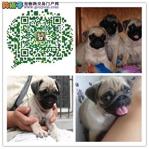 上海出售憨厚可爱的小巴哥幼犬 纯种健康有保障 多只选