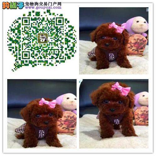 上海出售泰迪幼犬 高纯种高品质 韩国引进品质保障健康