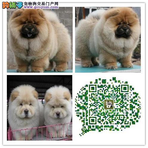 上海出售松狮犬 多只挑选 疫苗做好 纯种健康有保障