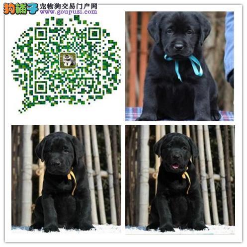 上海出售纯种拉布拉多导盲犬 纯种健康有保障 多只选