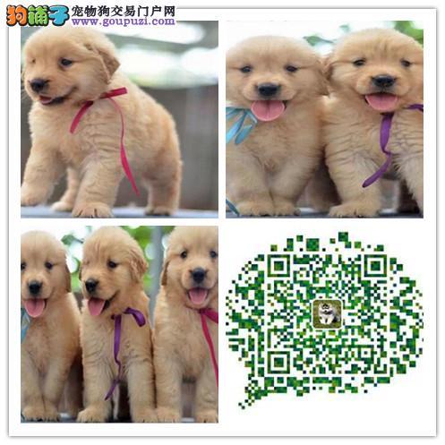上海出售金毛犬 多只挑选 疫苗做好 纯种健康有保障