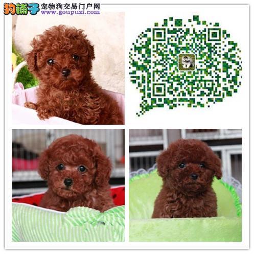上海出售极品顶尖茶杯犬泰迪犬 茶杯犬幼崽 保品质
