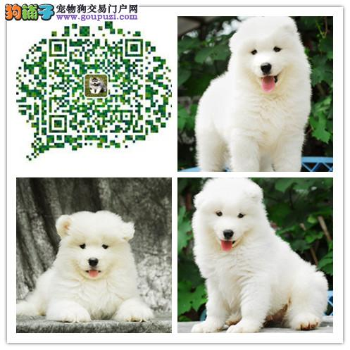 上海出售精品萨摩耶犬 多只挑选 疫苗做好 纯种健康