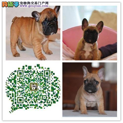 上海出售精品法国斗牛犬 多只可选 疫苗齐全 可上门选
