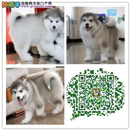 上海出售极品巨型阿拉斯加雪橇犬 纯种健康有保障