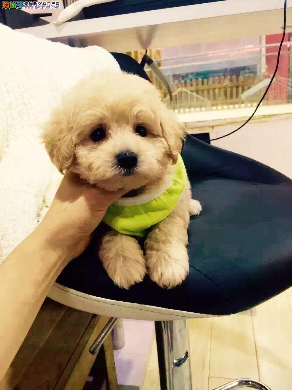 泰迪贵宾犬,纯种贵宾,玩具茶杯泰迪犬
