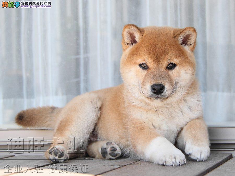 广州哪里有卖柴犬 广州买纯种柴犬多少钱一只