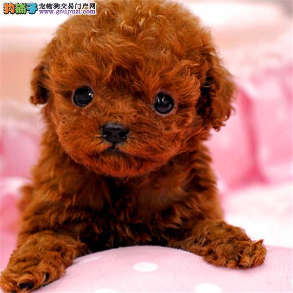 广州哪里有卖泰迪熊的地方 广州买泰迪熊多少钱一只?