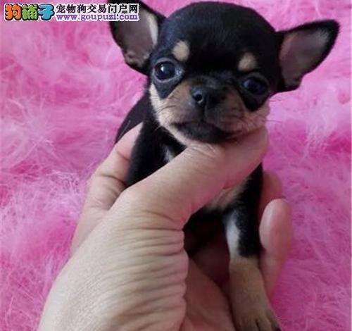 广州哪里有卖小鹿犬的地方 广州买小鹿犬多少钱一只